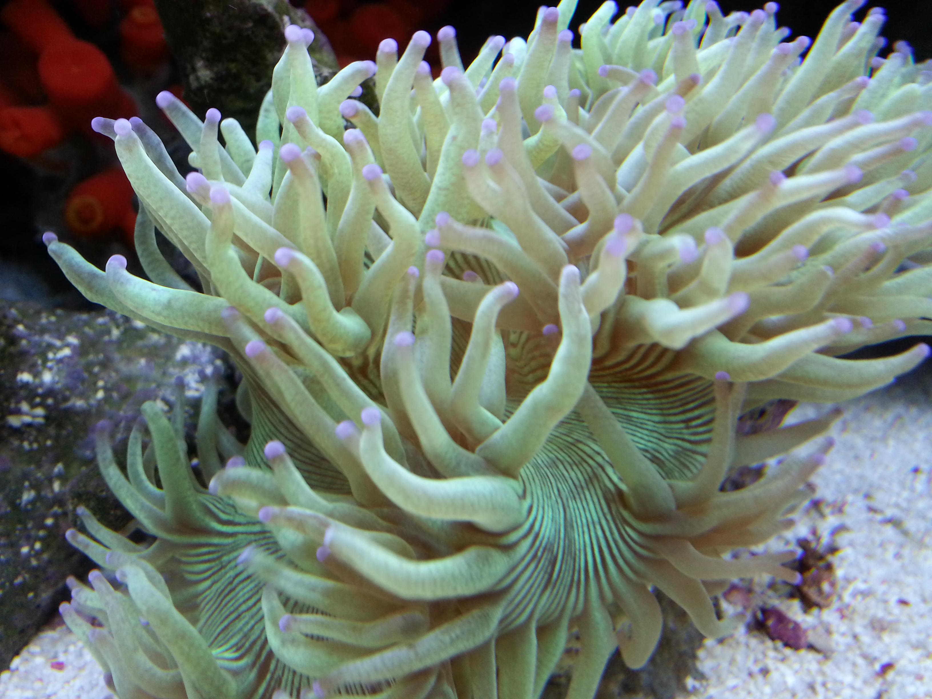 パイプオルガンサンゴ